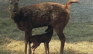 چڑیاگھربہاول پورمیں ہرن(سامبڑ) نے بچہ کوجنم دیا