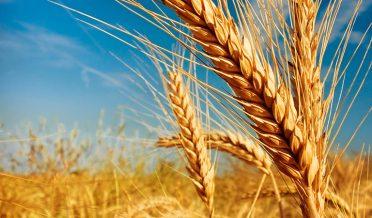 گندم خریدادی، پنجاب کے9ڈویژنز میں باردانہ کے اجراء کا شیڈول